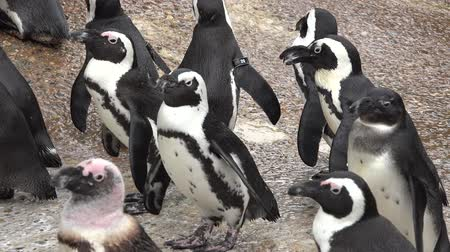 keizers pinguin : Pinguïns, Flightless Vogels, dieren Stockvideo