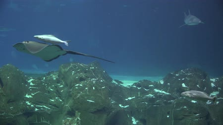 sas : Manta Rays, Stingrays, Sharks, Underwater