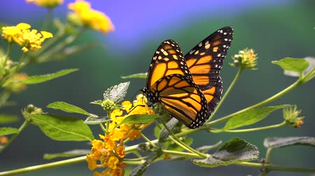 owady : Butterfly, Butterflies, Insects, Flowers
