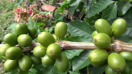 grãos de café : Coffee Plants, Plantations, Farms, Nature
