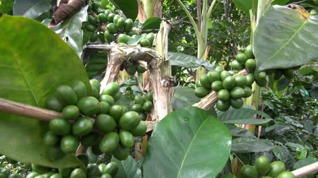 feketés csésze : Coffee Plants, Plantations, Farms, Nature