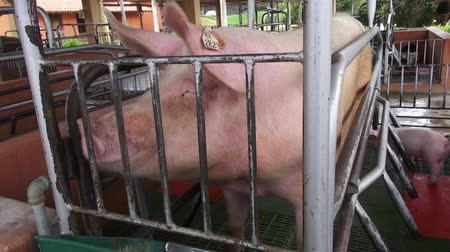 porky : Caged Pigs, Animal Abuse