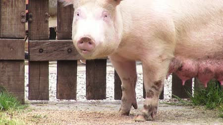 porky : Sows, Swine, Female Pigs, Mothers Stock Footage