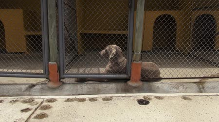 abuso : Lonely Caged Dogs, Canines, Neglect, Abuse Stock Footage