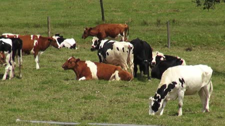 obesidade : Cows, Pastures, Grazing, Farms