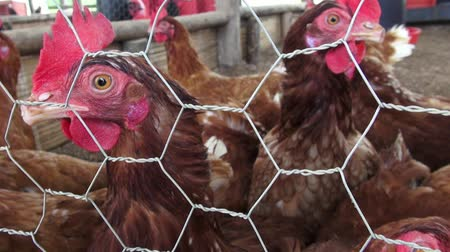 abuso : Caged Hens, Chickens, Animal Rights