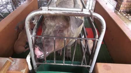 abuso : Caged Pigs, Sows, Swine