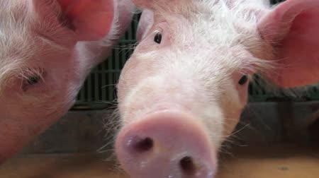 porky : Baby Pigs, Piglets, Hogs, Farm Animals Stock Footage