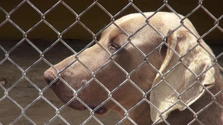 lonely : Lonely Caged Dogs, Canines, Neglect, Abuse Stock Footage