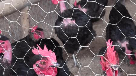 tyúk : Caged Hens, Chickens, Animal Rights