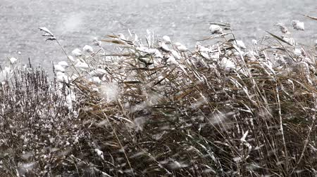 don : Grass Reeds in Blizzard Stok Video