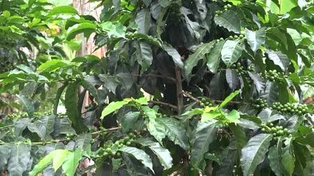 plantio : Coffee Plants, Farming, Crops Stock Footage