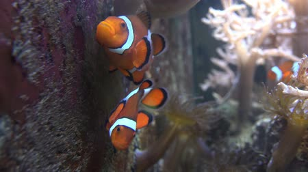 kapr : Clown Fish