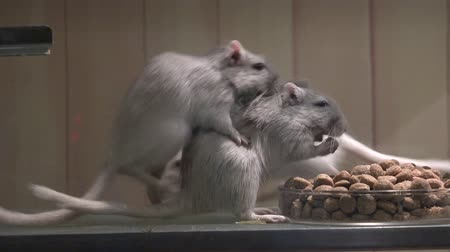fare : Mouse Eating mice food Stok Video