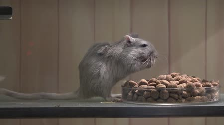 fare : Mice eating food Stok Video