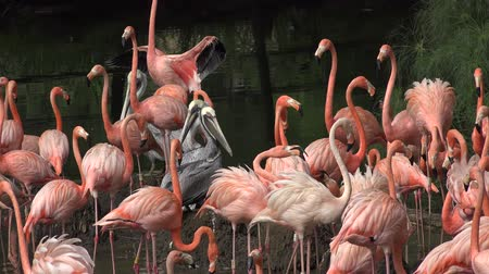 flaming : Wild Pink Flamingos in Nature Wideo