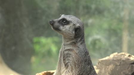 vida selvagem : Meerkat Wildlife in Nature