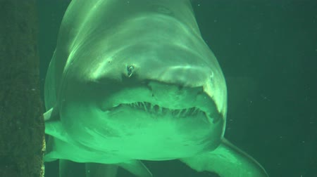 stomatologia : Big Shark Swimming In Water With Sharp Teeth
