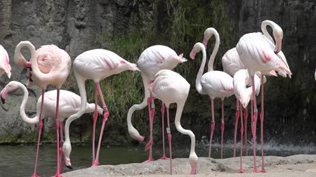 fuksja : Pink Flamingos Or Wading Birds