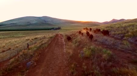 pursuit plane : Farm with Group Of Cows Running Mountains Sun Set Wide Epic Aerial View Moving