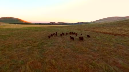 pursuit plane : Farm with Group Of Cows Running Stampede Mountains Sun Set Wide Epic Aerial View Moving Stock Footage