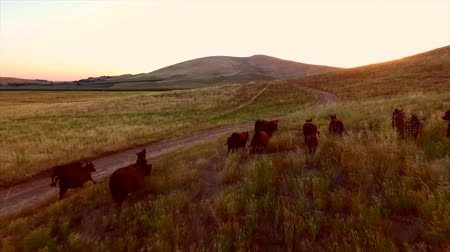 pursuit plane : Cows Running Dusk Sun Aerial View Stock Footage