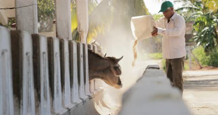 pecuária : Everyday life for farmer with cows in the countryside. Peasant work in South America with livestock in family country ranch. Manual job and people working, feeding cattle in small farm