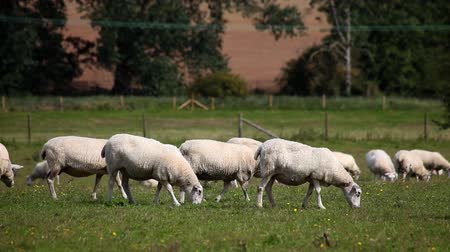 koyun : sheep grazing in a field Stok Video