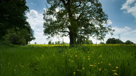 klíring : beautiful tree in an english countryside meadow during summer Stock mozgókép
