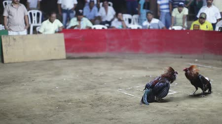 bıçak : two chickens fight to the death in a fight in mexico