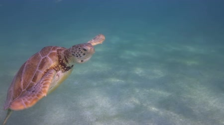 podwodny swiat : the loggerhead turtle filmed underwater in mexico Wideo