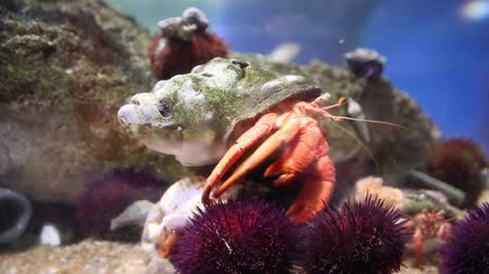 опасность : shot of a  crab and sea life in an aquarium Стоковые видеозаписи