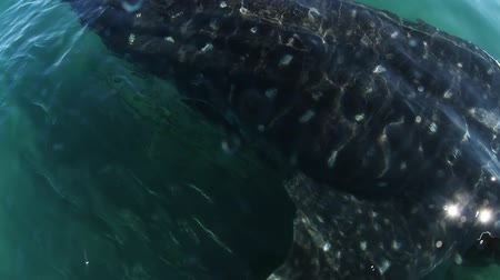 wieloryb : underwater shot of a whale shark, the worlds largest fish.