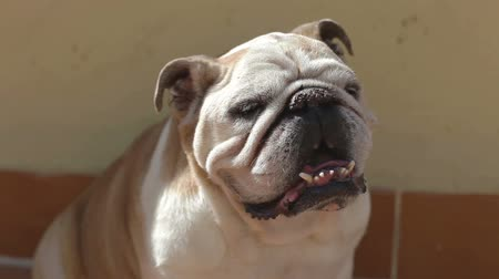 buldok : an old bulldog