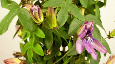 semínko : timelapse of a passion flower growing over a number of days Dostupné videozáznamy