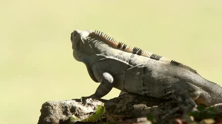 iguana : a shot of an iguana in mexico