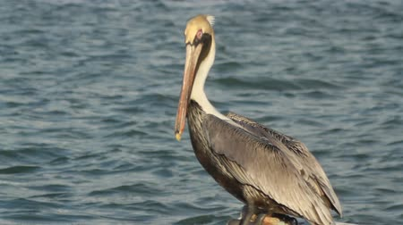 pelikan : Brown pelicans in ria largartos, mexico Wideo