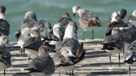 hnízdo : A flock of laughing gulls on  a pier in ria largartos, mexico