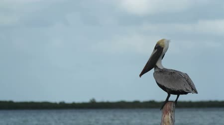 hnízdo : Brown pelican by the lagoon in ria largartos, mexico