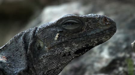 turné : A shot of an iguana in mexico