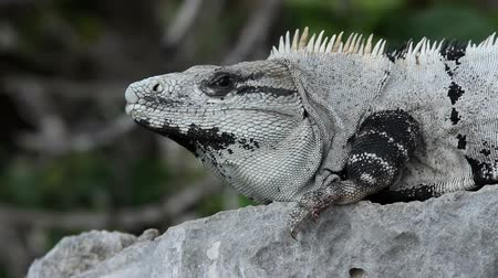 dragão : A shot of an iguana in mexico