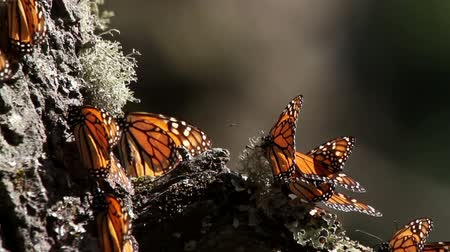 göç : the amazing monarch butterfly sanctuary in mexico, where millions of butterflies return to each year from the USA and canada