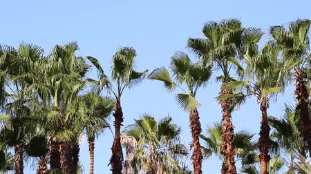 yemyeşil bitki örtüsü : palm trees gently blowing in the wind, mexico Stok Video