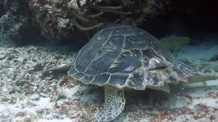 omurgalı : The loggerhead turtle filmed underwater whilst sCuba diving in cozumel, mexico