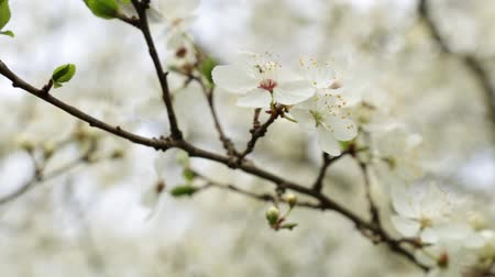 nisan : A beautiful spring blooming tree. Stok Video