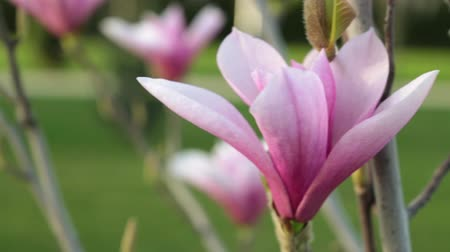 magnólia növény : Spring, nature is a blooming tree. Flower of a pink magnolia.