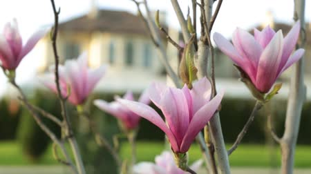 magnólia növény : Pink magnolia flowers on the backdrop of the house.