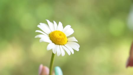 суеверие : A woman is guessing on a daisy. The girl tears the petals from the daisy.