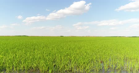 plodnost : Aerial photography is a beautiful panorama of a rice field. Rice meadows, plantations.