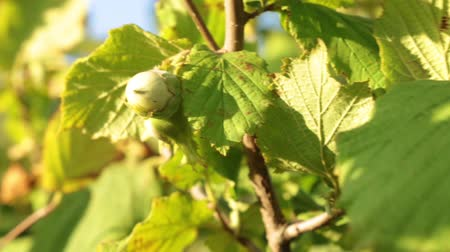 avelã : Hazelnut grows on a tree. Young green hazelnuts. Stock Footage